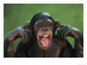 chimpanzee-with-its-fingers-in-its-ears1